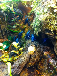 DENDROBATES AZUREUS paludarium sous-bois-tropical